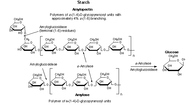 saliva on starch For example, human saliva and pancreatic secretion contain a large amount of alpha-amylase for starch digestion the specificity of the bond attacked by alpha-amylases depends on the sources of the enzymes.