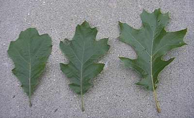 Shade+leaf
