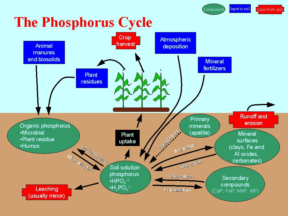 understanding phosphorus cycles and how it affects our ecosystem Shmoop biology explains the phosphorus cycle part of our the last important chemical in an ecosystem that mercury has been shown to negatively affect the.