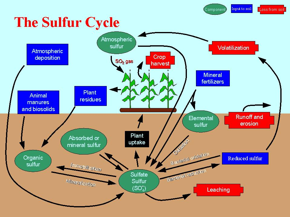 sulfur cycle steps aspects sulfur cycle