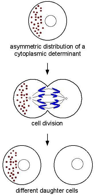 Define determination in biology