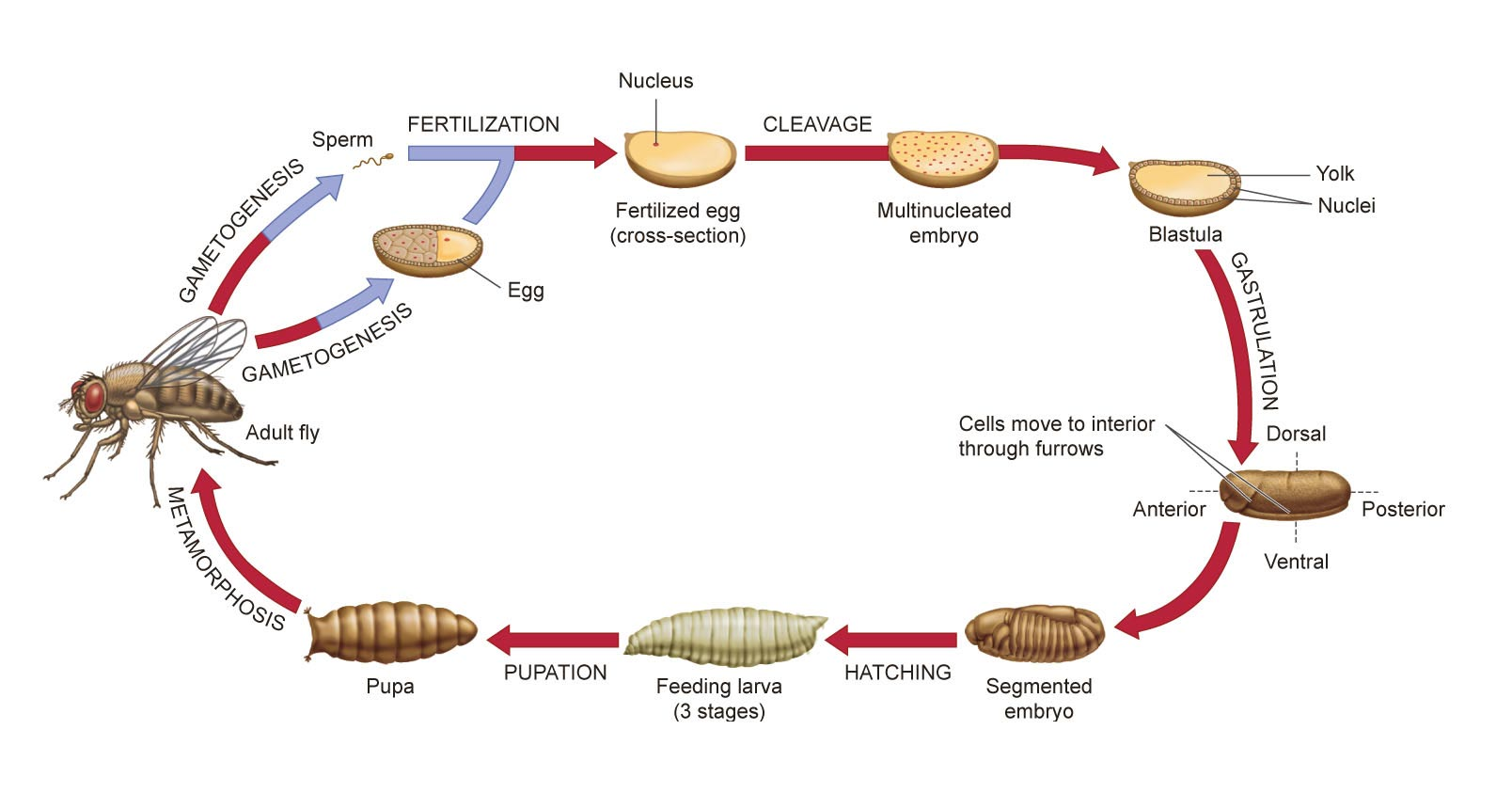 Life cycle various stages of development from an embryo to - Life Cycle Various Stages Of Development From An Embryo To 6