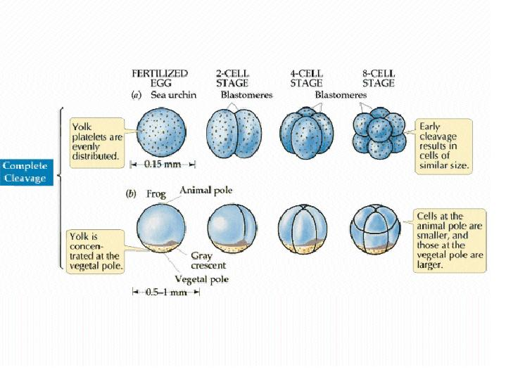 Egg Development in Birds http://biology.kenyon.edu/courses/biol114/Chap13/Chapter_13B.html