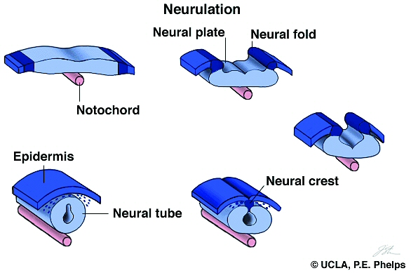 Chapter 14b  Neurulation And Limb Development