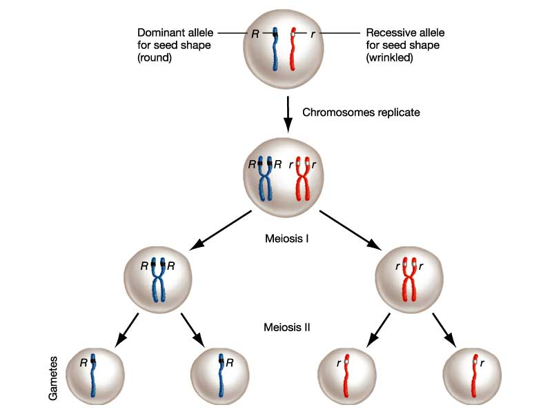 Think, that meiosis sex chromosomes for