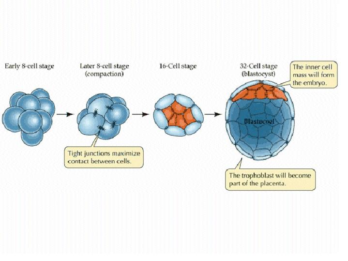 Diagram of development biology auto wiring diagram today lecture images rh biology kenyon edu glycolysis diagram biology glycolysis diagram biology ccuart Images