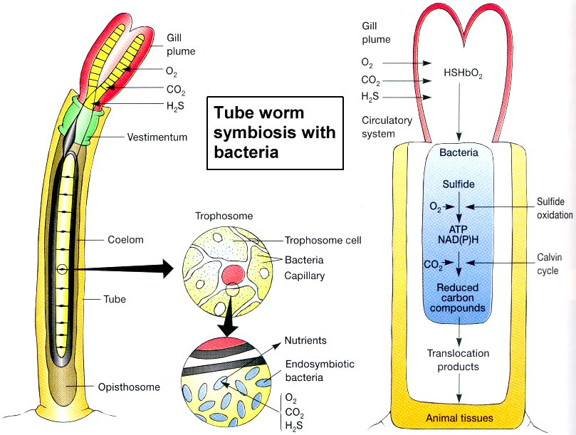 siboglinid tube worms and symbiotic bacteria relationship
