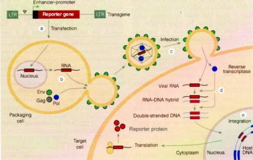Membrane Fusion From Viruses To Gene Therapy And Rna